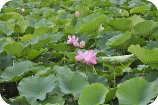 親沢池親水公園のハスの花