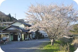 常陸秋そば・桜満開