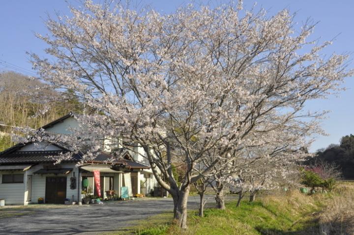 登喜和家桜満開